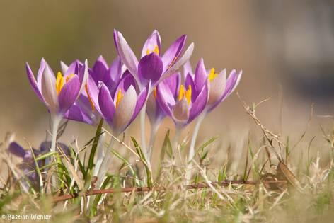 Blühende Krokusse auf einer Wiese